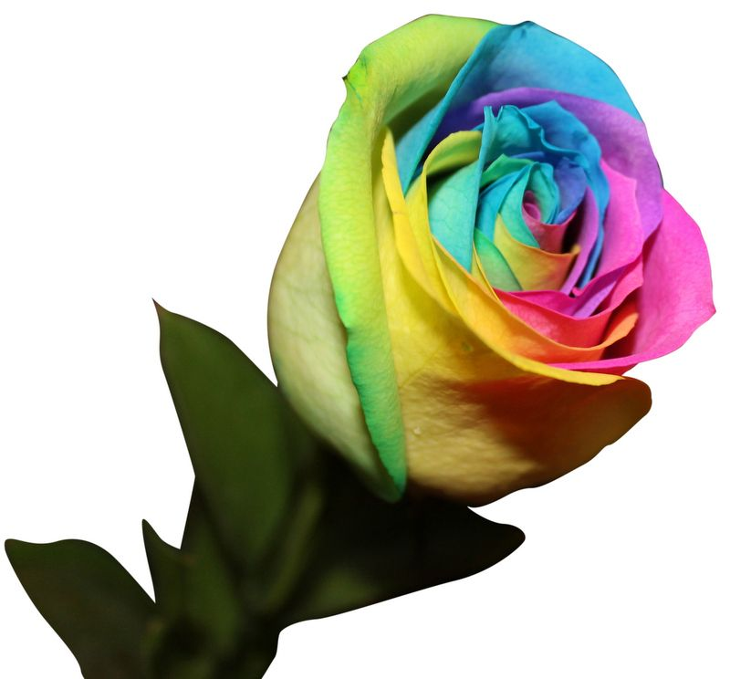 Order these amazing Rainbow Roses before these sell out!